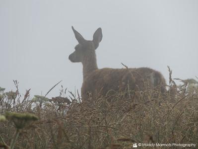 Deer in Fog   Point Reyes National Seashore