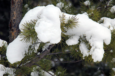 Snowy Branches | Rocky Mountain National Park