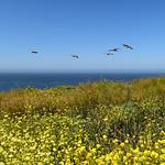 Pelicans in Flight | Pigeon Point