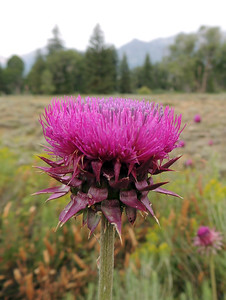 Thistle | Grand Teton National Park