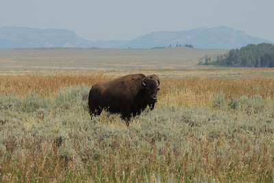 Bison | Grand Teton Natioal Park