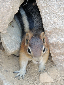 Chipmunk | Moose, WY