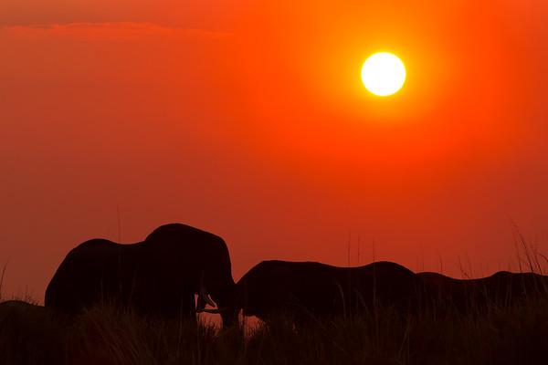 Chobe elephantlove