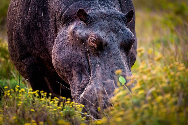 Hippopotamus, iSamingaliso Wetland Park