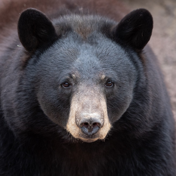 Captive black bear at Arizona Sonoran Desert Museum