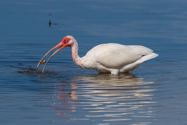 Ibis with a crab. Olympus OMD1 Mark II, 300mm, F/6.3, 1/4000 sec, ISO 400.