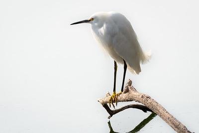 Snowy Egret at Gilbert Riparian Preserve