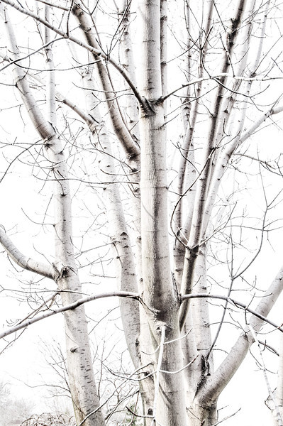 Silvery Maple