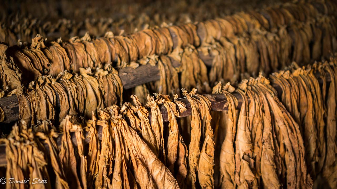 Drying tobacco, Concha and Paco Hernandez family farm, Viñales Valley, Cuba