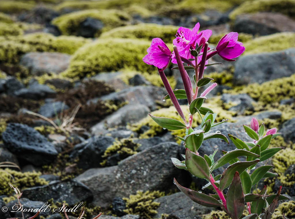 Arctic Riverbeauty (Willowherb) or Dwarf fireweed or chamerion latifolium.   Iceland Highlands.