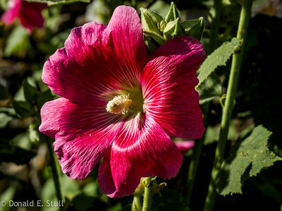 Hollyhock, Poujols/Lodeve, Languedoc-Rousillon, South of France