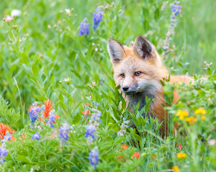 Fox and Flowers