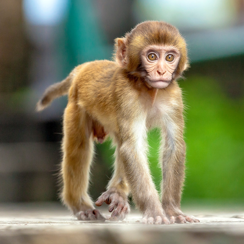 Swayambhunath Monkey