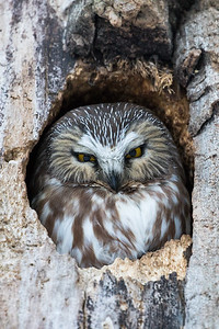 Northern_Saw-Whet_Owl-4