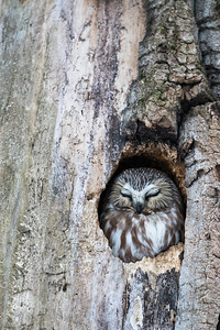 Northern_Saw-Whet_Owl-2