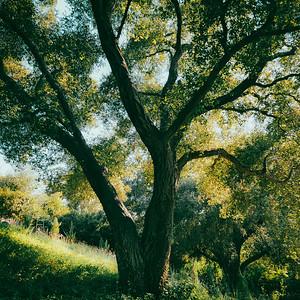 The Live Oaks of Silverado