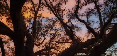 Live Oak At Sunset