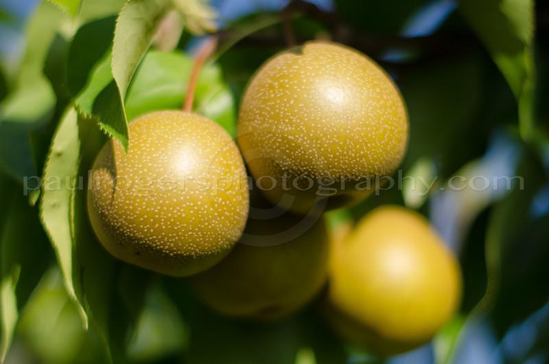 Harvest Moon Homestead Orchard Pears