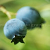 Wild Lowbush Blueberries