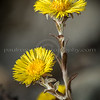 Close-up of Coltsfoot, Duxbury