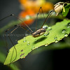 Daddy longlegs insect on jewelweed with rain drops, Stowe, VT