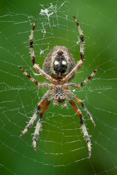 Closeup of spider on web, Stowe, VT.