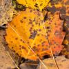 Bigtooth Poplar Leaves, Mud City, 2016