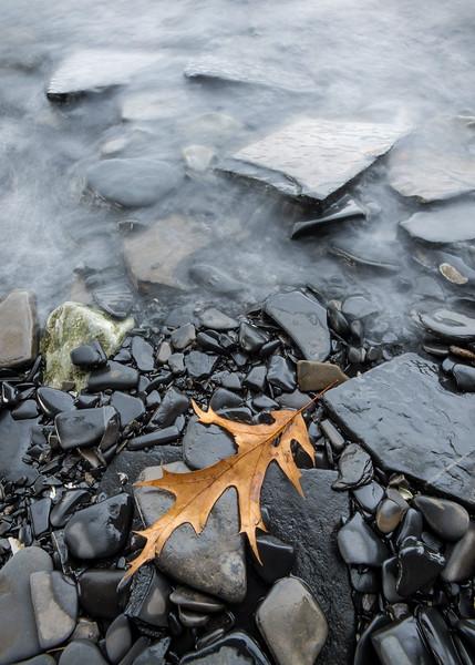 Oak Leaf on Shore of Arnold Bay, Panton, 2017