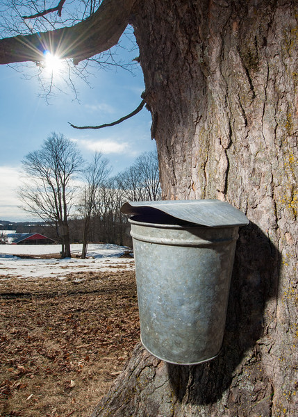 Sap bucket on maple tree, Greensboro, VT.