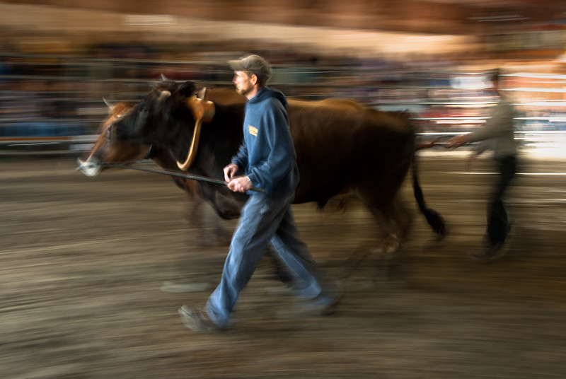 A pair of young bulls is led away after finishing a round at the oxen pull contest, 2010 Tunbridge World's Fair, Tunbridge, VT.