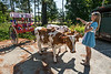 An Orange County 4-H member prepares her working steer team for the 4th of July parade in Randolph, Vermont .