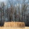 Stand of Reeds, Shelburne, 2014