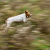 Brittany Spaniel Searching for Pheasants, Elmore, 2014