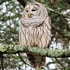Barred Owl, Stowe, 2014