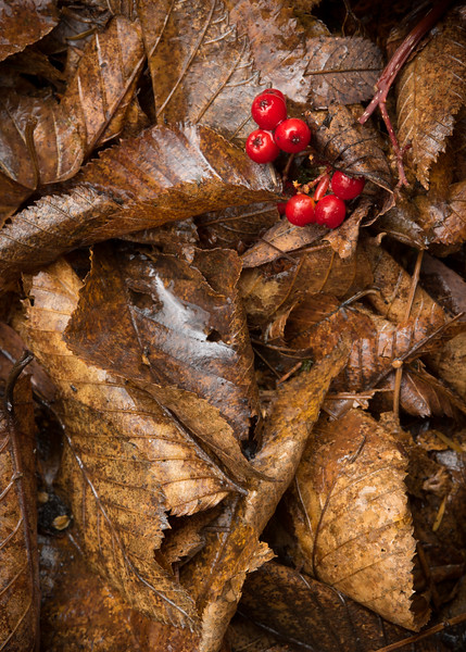 Mountain Ash Berries in Leaves, Cambridge, 2015