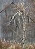 Barn and Birch Tree, Elmore, 2015