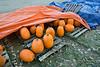 Pumpkins Under Tarps, Stowe, 2015