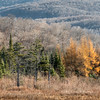Tamarack Trees in Autumn Color, Eden, 2016