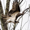 Osprey Fishing the Battenkill River, West Arlington, 2017