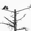 Treetop Ravens, Woodford, 2017