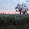Cornfield and Apple Tree at Sunrise, East Craftsbury, 2013