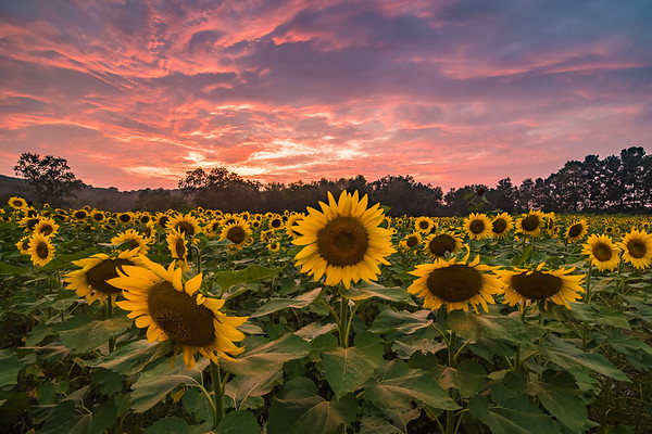 2018 8-27 Sussex County Sunflower Maze-291-HDR_Full_Res