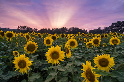 2018 8-27 Sussex County Sunflower Maze-238_Full_Res