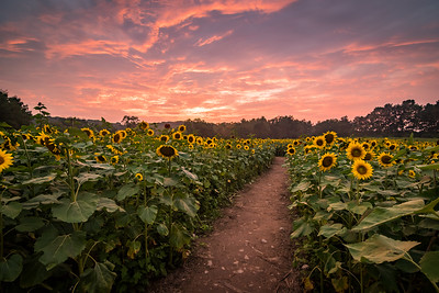2018 8-27 Sussex County Sunflower Maze-282-HDR_Full_Res