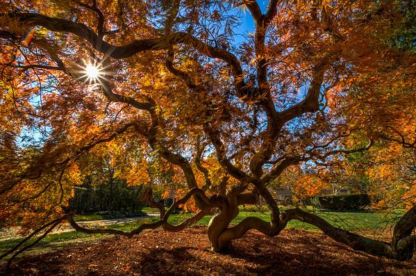2014 11-10 Cutleaf Maple Sunburst-87_8_9