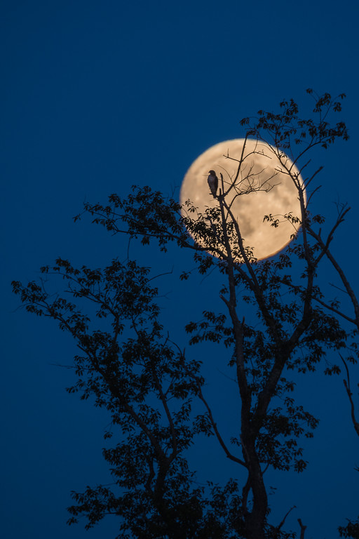 2017 10-4 Holmdel Harvest Moon and Red-tailed Hawk-81_Full_Res