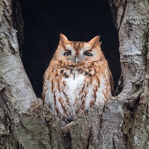 2018 2-17 Screech Owl-244_Full_Res