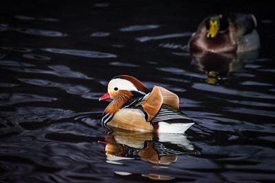 2018 12-11 Mandarin Duck Central Park NYC-1-2_Full_Res