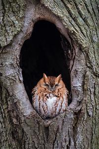 2018 2-17 Screech Owl-246_Full_Res-2