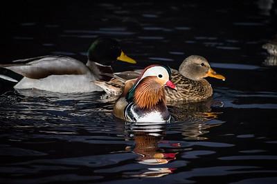 2018 12-11 Mandarin Duck Central Park NYC-29_Full_Res